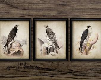 Vintage Falcon Print Set of 3 - Antique Falconry Art - Falconer Gift - Birds of Prey Wall Art Print Set Of Three #788 - INSTANT DOWNLOAD