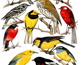 Bird Print - Warblers, Mistletoe Birds, Vireo, Creeper - 1968 Vintage Print - from Encyclopedia