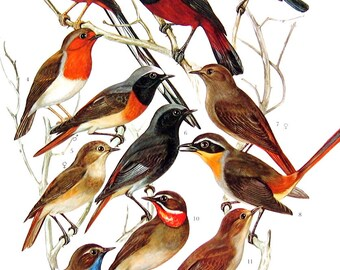 Bird Print - Redstart, Chat, Nightingale, Thrush - 1968 Vintage Print - from Encyclopedia