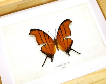 FREE SHIPPING Framed Marpesia Petreus Ruddy Daggerwing Butterfly Taxidermy High Quality A1 #12