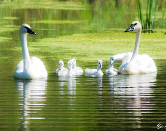 Swan Photography - White Swan Family Print -  Swan And Family Photo - Nature Photography