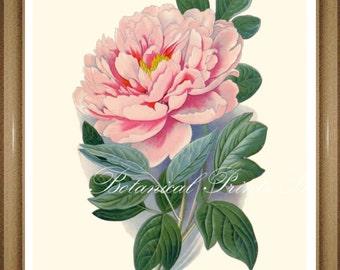 "Peony Print #3. Tree Peony. Pink Flower Print. 5x7"", 8x10"" 11x14"""