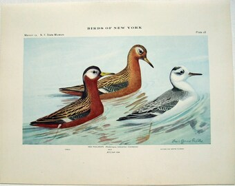 Red Phalarope - Antique Print by Louis Agassiz Fuertes - From the 1910 Edition of The Birds of New York. Sandpiper. Avian