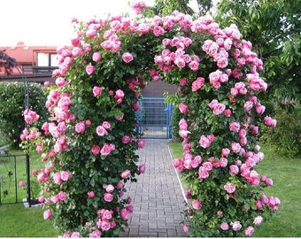 Flowers Seed For Garden Climbing Rose