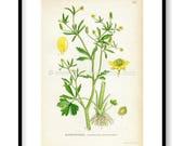 1922 Celery-leaved Butter...