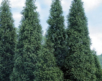 """10 Green Giant Arborvitae Plants(Thuja Green Giant) 3"""" containers"""
