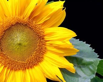 Sunflower Image, Fine Art Photo,Flower Photography, Flower Photo
