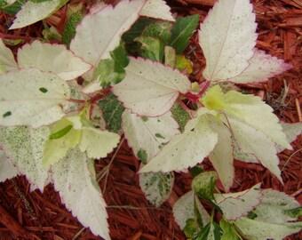 Hibiscus rosa sinensis Matensis tropical variegated /quart plant FREE SHIP