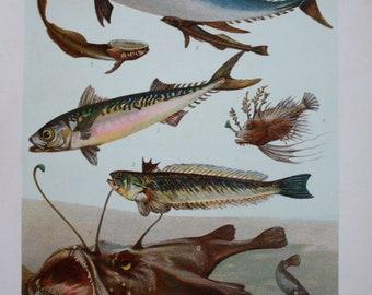 antique print fish tuna mackerel ca 1900