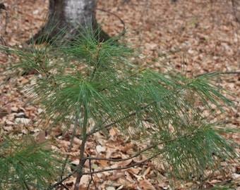 "6 Woodland Pine baby/starter/seedling tree Wild Assorted varieties 8""-18"" 2-3yr"