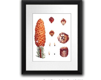 "Fall Decor Pine Cone Decor Botanical Wall Art Conifers print #11 Winter Woodland Wall Decor Christmas Wall Art 8x10"" Gnosis Picture Archive"