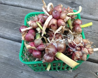 Egyptian Walking Onion 'Csongrádi' Hungarian heirloom, 20 bulblets