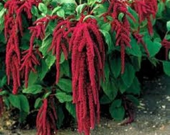 Amaranthus (Love Lies Bleeding) Edible Annual fresh 2017 seeds from my own plants, spectacular in a  or container