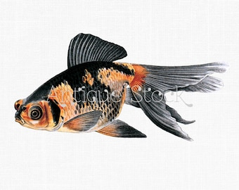 Goldfish Old image - Antique Koi Drawing - Vintage Demekin Goldfish Illustration - 1908