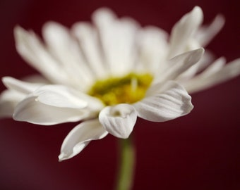 Burgundy wall art, white daisy flower photo photography print, fine art decor picture, girls room bedroom wall decor floral artwork, yellow