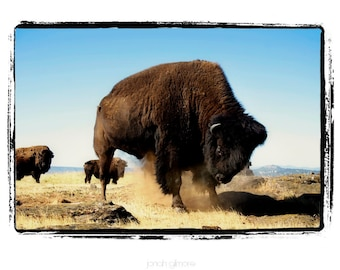 Frisky Buffalo Pawing Ground Fine Art Print In Hues of Gold Brown and Blue
