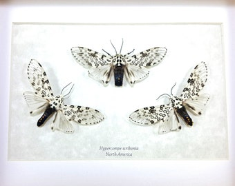 Real Framed Hypercompe scribonia TRIO Giant Leopard Moth Taxidermy A1/A1- #125