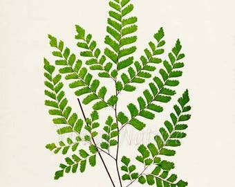 Maidenhair Fern Art Print, Botanical Art Print, Fern Wall Art, Fern Print, Botanical Print, Home Decor, green art print