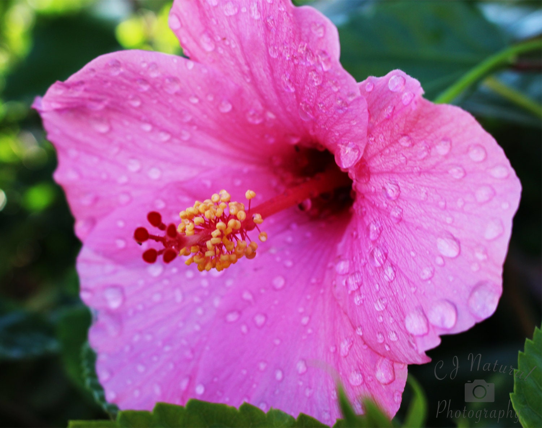 Pink hibiscus flower print pink flower art print tropical zoom izmirmasajfo Image collections