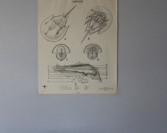 Vintage Limulus (horseshoe crab) classroom chart from Turtox