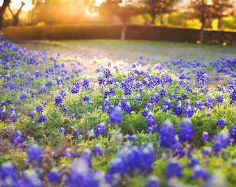 Texas Bluebonnet Field Sunset nature photography, landscape photography, Bluebonnet Art, nature decor, flower print, texas blue bonnet