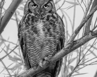 Black and White Owl, Great Horned Owl in B&W