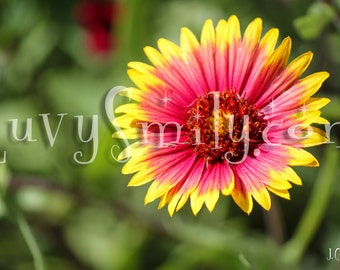 Pink and Yellow Flower Photograph