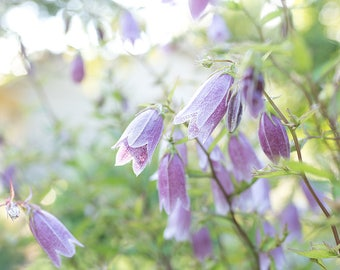 Bell flower in my garden-flower photography -flower photo- cottage garden photography - Original fine art photography prints - FREE Shipping
