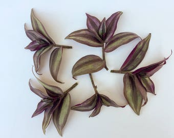 Wandering Jew CUTTINGS Tradescantia zebrina Cuttings