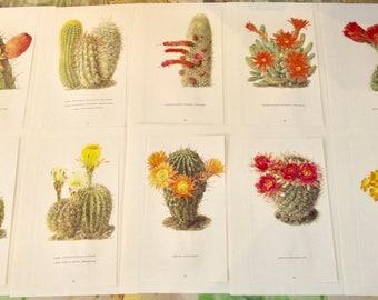10 illustration botanical Walter Kuper Cereus Jamacaru beef Pseudolobivia pelecyrhachis Cleistocactus strausii cactus, cacti