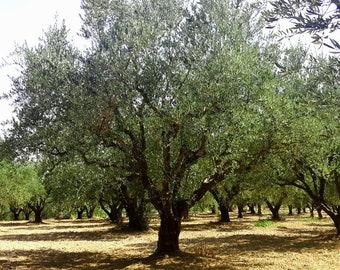 Greek Olive Tree Annual Adoption