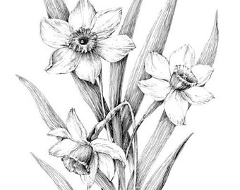 Narcissus print, daffodil drawing, floral art, black and white botanical sketch,  daffodil sketch, pen ink illustration, flower poster