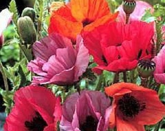 40+ Fruit Punch Poppy Papaver Orientale / Perennial Flower Seeds