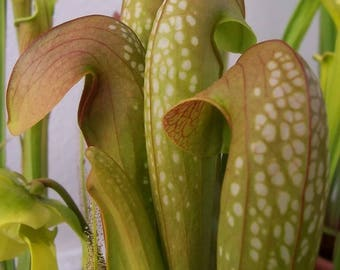 10 HOODED PITCHER Plant Sarracenia Minor CARNIVOROUS Flower Seeds *Comb S/H