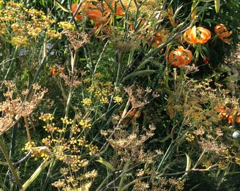 Bronze Fennel Seeds, Fennel Seeds  Great For Butterfly Gardens, Herb Garden Seeds 50 Fennel Seeds From This Year's Crop