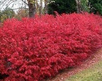 Burning Bush Seeds/Kochia Trichophylla/Annual   50+