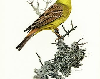 Vintage lithograph of the yellowhammer from 1956