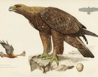 Vintage lithograph of the golden eagle from 1953