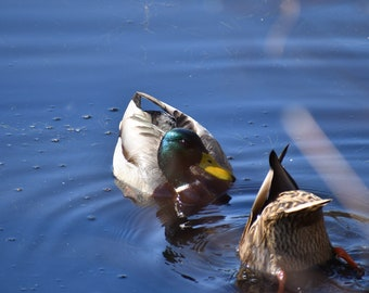 Smitten Duck