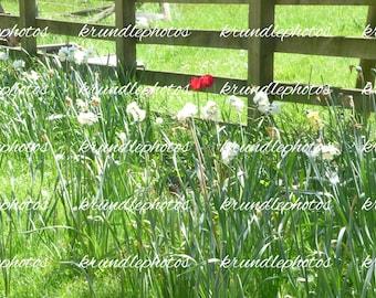 Photo Print of Tulips amongst Daffodils using a Original Photo
