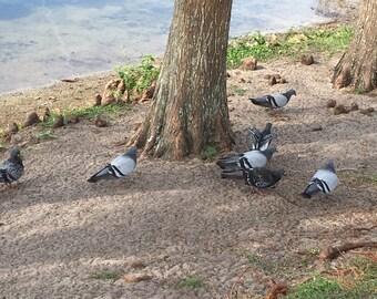pigeons in florida