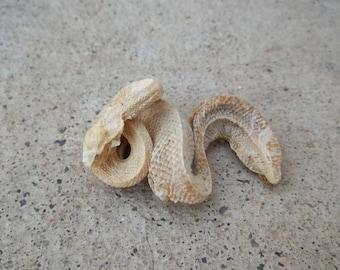 Cruelty Free • No. 501 Naturally Mummified Albino Western Diamondback Rattler Rattlesnake | Snake Serpent Reptile | Taxidermy Specimen