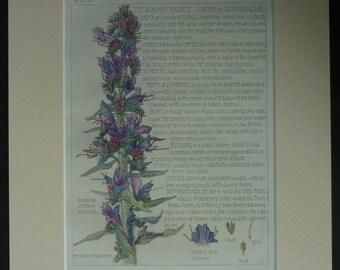 1910 Antique Botanical Print of the Borage Family Featuring Viper's Bugloss Blueweed wildflower decor, Edwardian botany art, Blue Flower Art