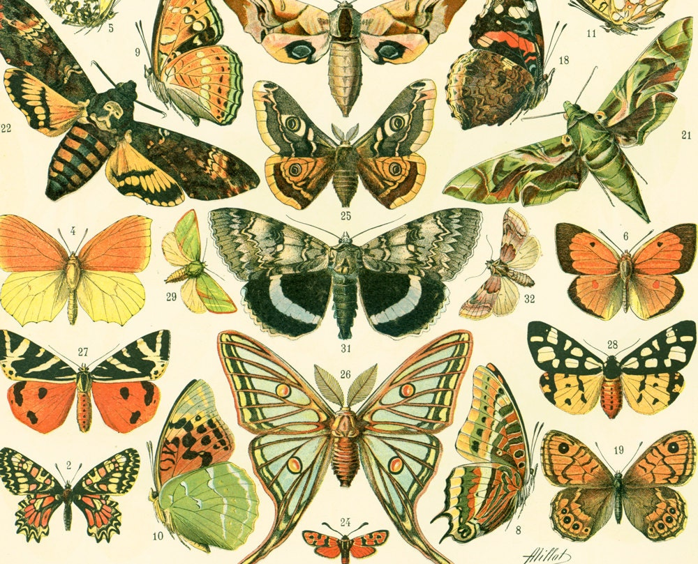 1897 European Butterflies Old world Antique Print Larousse
