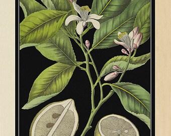 Bold Lemon Tree Art Print - Vintage Citrus Botanical Poster - Vintage Style Kitchen Wall Art - Large botanical lemon poster - Museum Quality