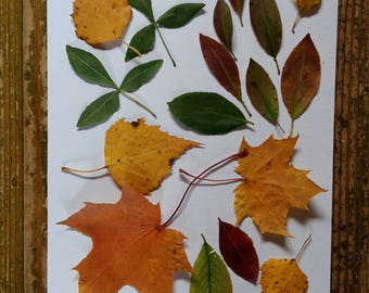 pressed leaves dried leaf set mixed assortment for fall autumn crafts DIY projects natural tree leaves dried herbarium botanical decor