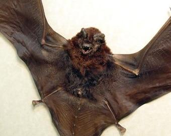 SPREAD CYNOPTERUS medius Real Taxidermy bat