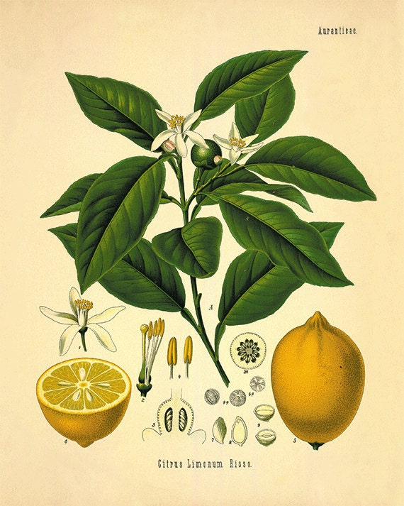 Lemon art print kitchen art print antique botanical art