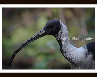 Straw-Necked Ibis - Wildlife Nature Digital Photo - Instant Download