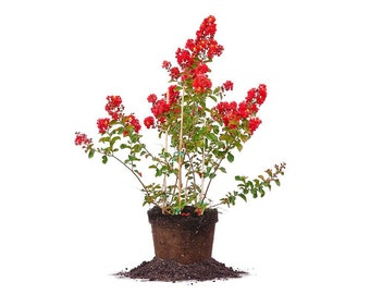 RED ROCKET® CRAPE Myrtle Size: 3-4 ft